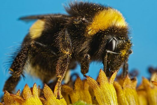 A photo of a bumblebee at the British Science Festival 2017
